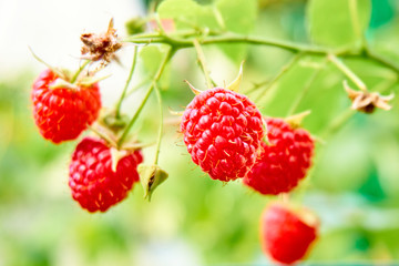 ripe red raspberries on the bush. branch of raspberry