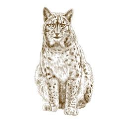 engraving  illustration of lynx