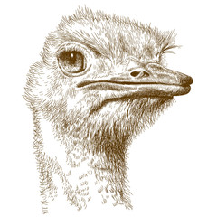 engraving illustration of ostrich head