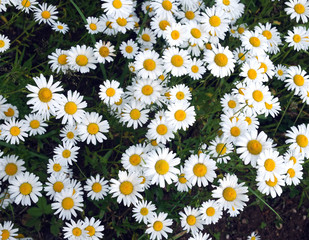 Lot of beautiful wild field chamomile flowers with white petals on meadow in summer day top view closeup