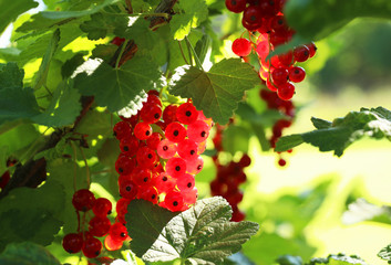 Bunch of ripe red currant berries glowing in sun rays in back yard vegetable garden. Vitamin C source for healthy eating concept. Summer background. Agriculture background. Harvest concept.