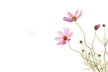 ピンクのコスモス 白バック
