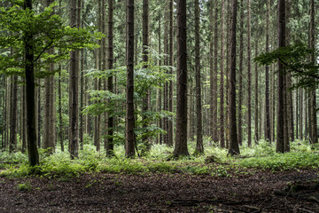Green tree spooky mystical forest background, beautiful view fresh pines trees and floor in Germany Europe