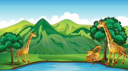 Three giraffes by the pond