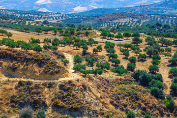 olive fields on Crete Island in Greece, Cretan landscape