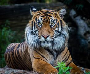 Photo sur Plexiglas Tigre tigre de sumatra