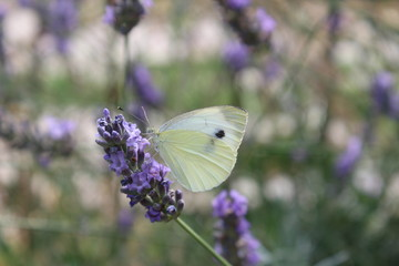 White butterfly on a lavender flower in the morning
