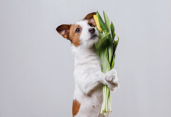 Dog Jack Russell Terrier with flowers