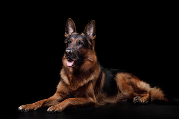 Dog German shepherd on a black background