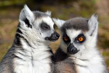 Katta - Lemur