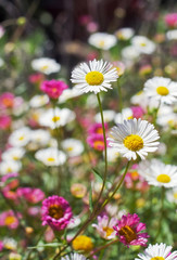 Close up of white daisy flower field in springtime