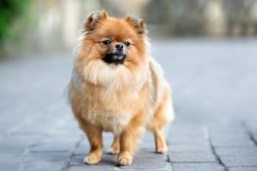 adorable pomeranian spitz dog posing outdoors