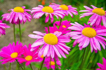 Gerber. large pink daisies with a bright yellow Center.