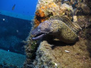 Moray eel on Tug Boat Rozi - Cirkewwa Dive Site - Malta