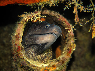 Moray eel in Pipe on Tug 2 Wreck - Exiles Beach - Sliema - Malta