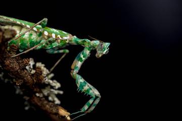 Thistle Mantis (Blepharopsis Mendica)