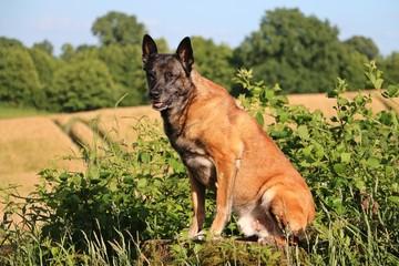 portrait eines belgischen schäferhundes