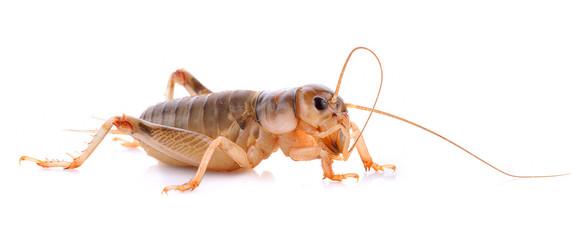 Mediterranean field cricket - Gryllus bimaculatus (cricket, insect)