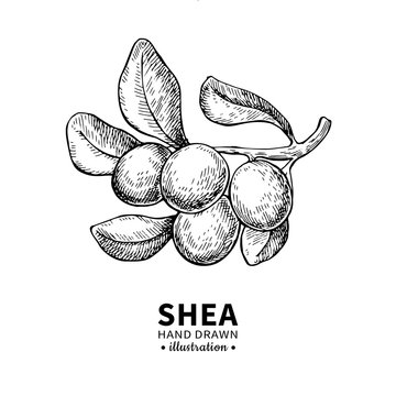 Shea butter vector drawing. Isolated vintage illustration of berry on branch. Organic essential oil engraved style sketch.