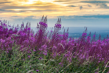 Fireweed or Rose Bay Willow Herb