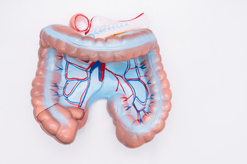 Close-up of Internal organs dummy on white background. Human anatomy model. Colon Anatomy.