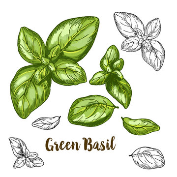 Full color realistic sketch illustration of green basil