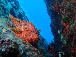 Scorpionfish at Ras il-Hobz Pinnacle