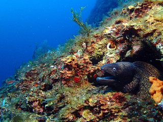 Moray eel at a reef in Gozo