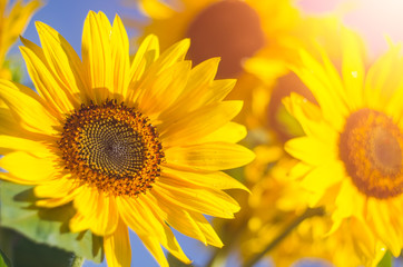 Sunflower flowers in the sunlight