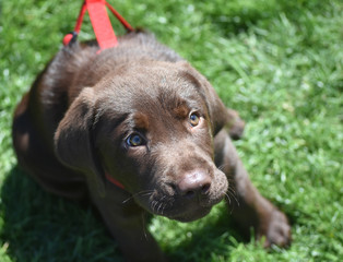 Precious Three Month Old Chocolate Lab Puppy Looking Up