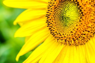 Beautiful big sunflower on a background of green foliage.