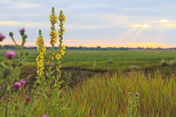 Field honey flowers at sunset