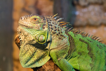Aggressive green iguana with raised head