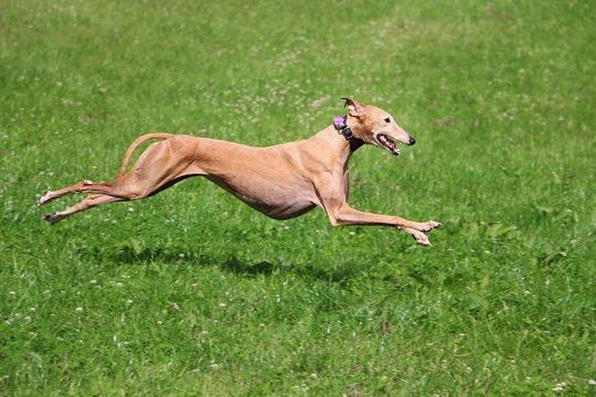 windhund in action