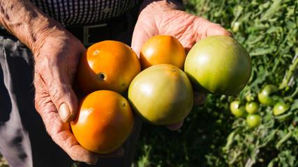 Tomates ecológicos en manos de hortelano