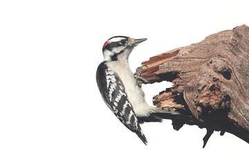 Fotoväggar - Downy Woodpecker (Picoides pubescens)