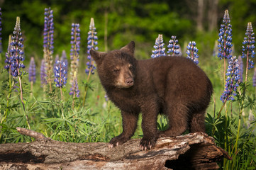 Black Bear Cub (Ursus americanus) Stands On Log Ears Back