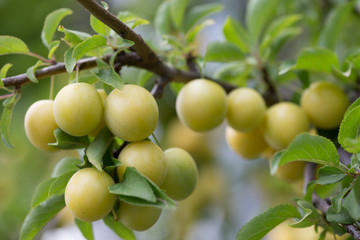 close up of yellow cherry plums on a tree