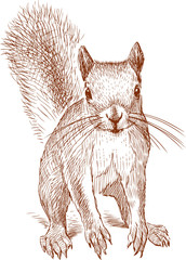 Sketch of a small red squirrel