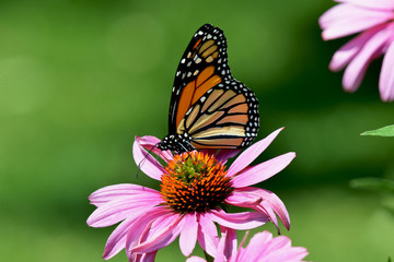 Monarch butterfly on purple cone flower Danaus plexippus