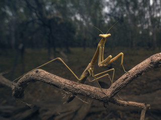 Stick insect on branch at dusk, Mulwala, New South Wales, Australia