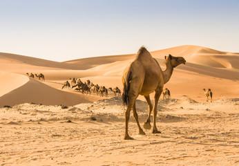 Poster Kameel camel in liwa desert