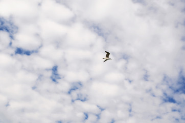 The bird flies in the sky with white clouds. The flight of seagulls. The concept of freedom and independence