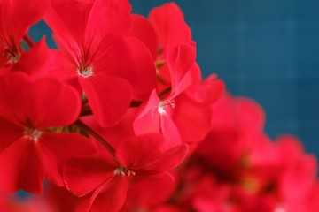 Beautiful red geranium in flower pot