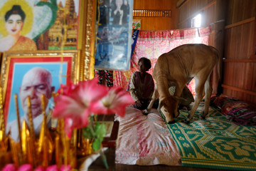 Khim Hang, 74, sits at her bedroom with a cow which she believes is her reborn husband in Kratie province, Cambodia