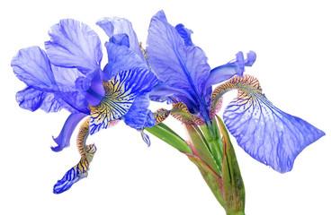 Deurstickers Iris blue iris blooms group isolated on white