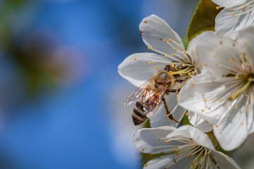 Bee on a white cherry blossom collecting pollen and gathering nectar to produce honey in the hive
