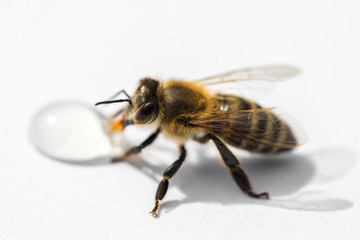 Macro image of a bee on a light surface drinking a honey drop from a hive
