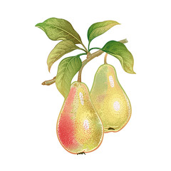 Realistic drawing of pears.