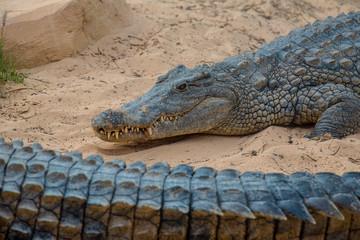 Image of a crocodile. Reptile Animals.